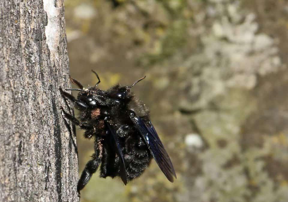 Die erste Wildbiene des Jahres