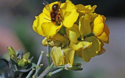 Die seltene Schöterich-Mauerbiene