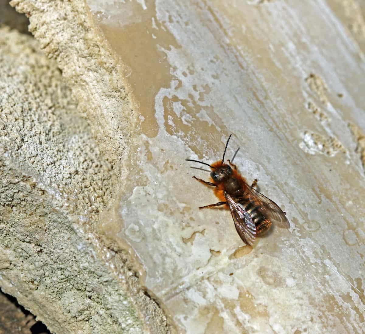 Schöterich-Mauerbiene