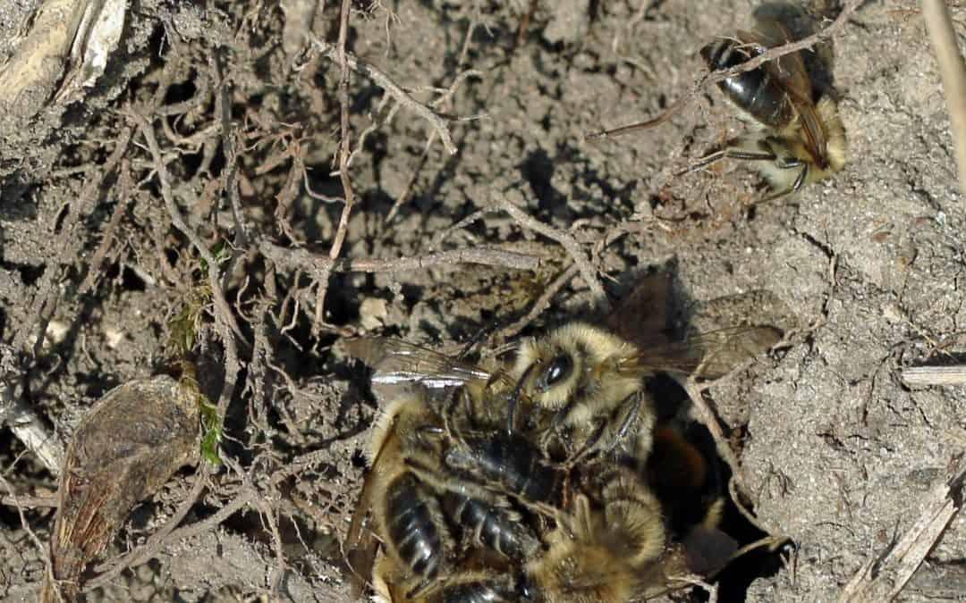 Das Paarungsfest der Frühlingsseidenbienen