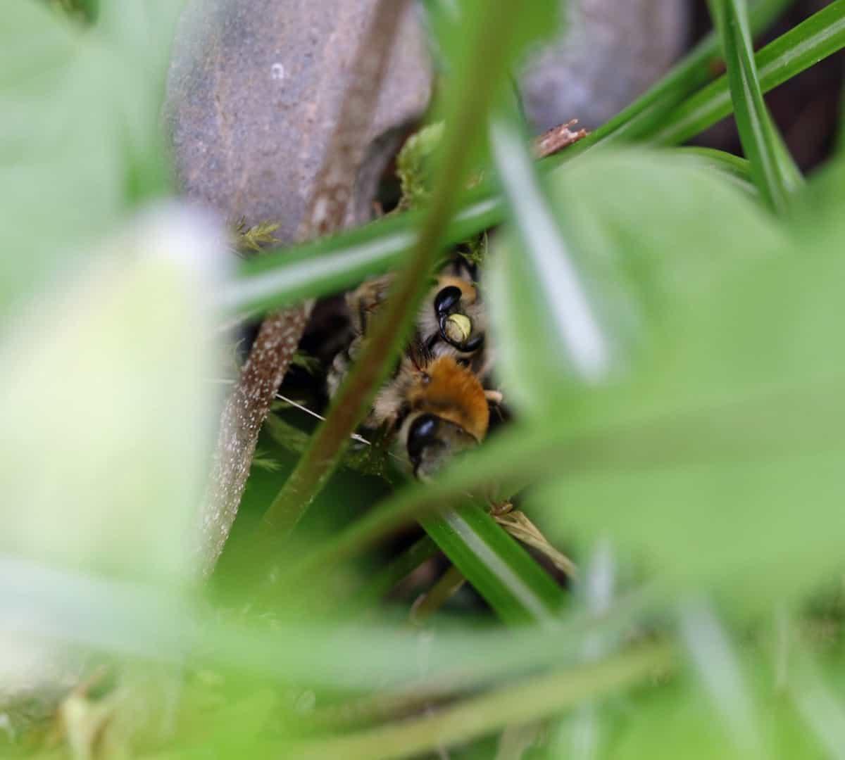 Paarung der Langhornbienen