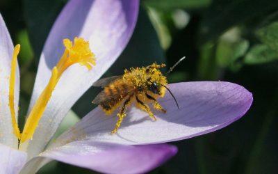 Frühlingsblumen für Wildbienen