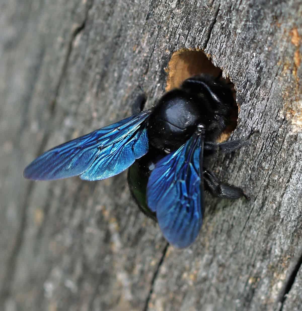 Blaue Holzbiene nagt sich einen Gang ins Holz