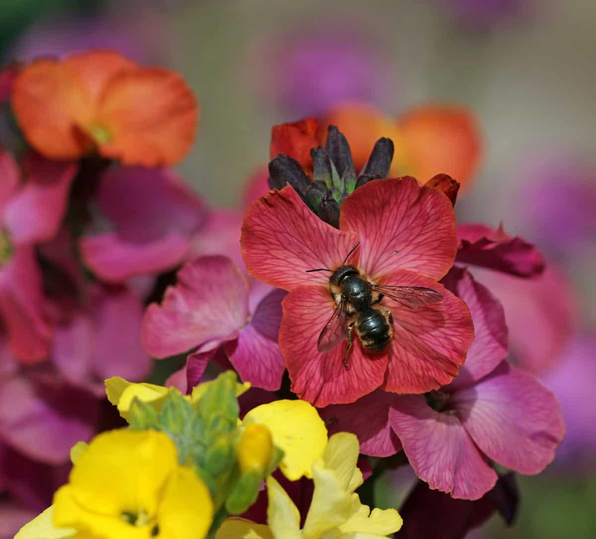Schöterich-Mauerbiene auf Goldlack