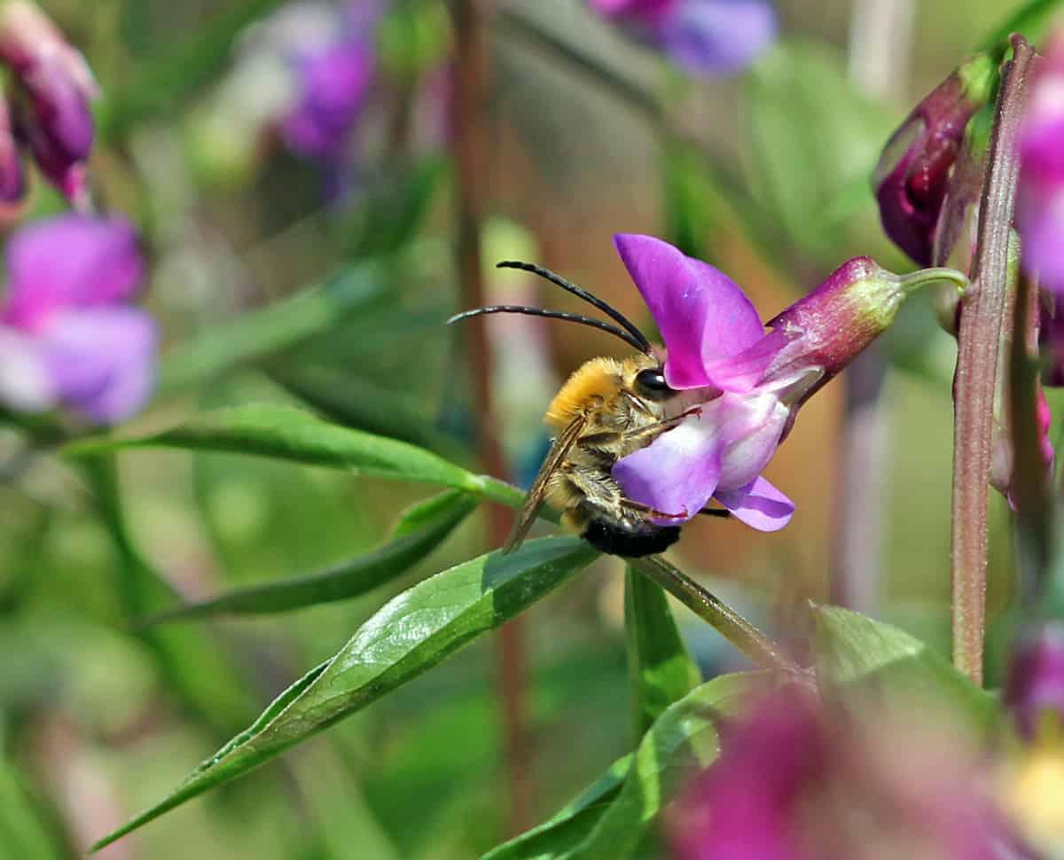 Langhornbiene auf Frühlingsplatterbse
