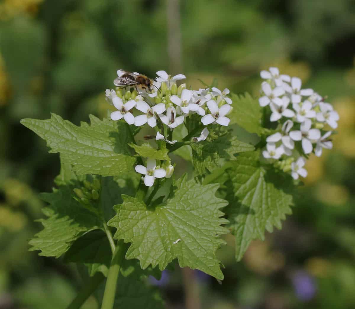 Seltene Wildbiene auf dem Knoblauchhederich