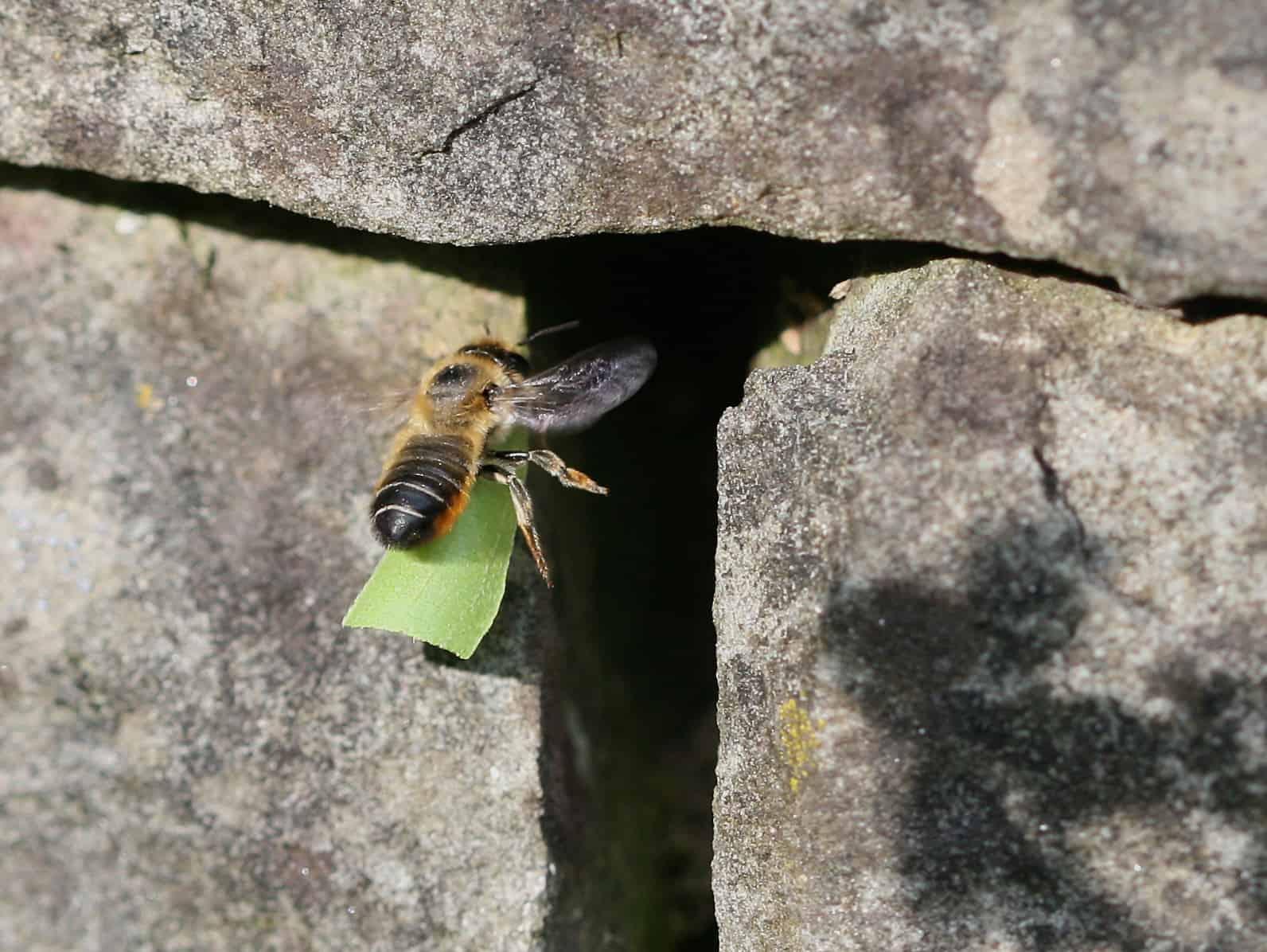 Blattschneiderbiene in Trockensteinmauer