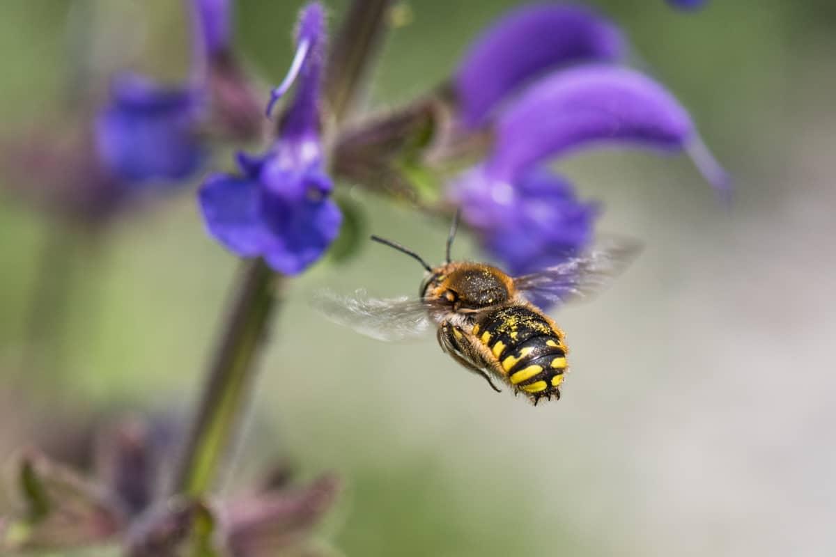 Gartenwollbiene fliegt den Salbei an.