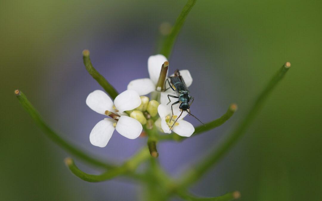 Christines Trittsteingarten – Unkraut oder Insektenförderung?